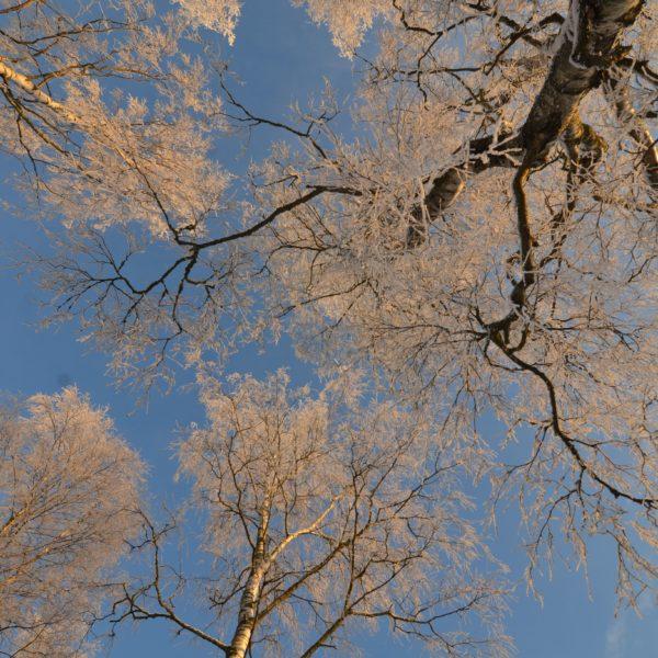 PEFC-talvinen-metsä